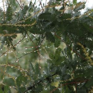 雨の日のミモザ