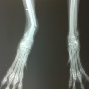 超小型犬 ALPSチタンプレートによる橈尺骨骨折手術