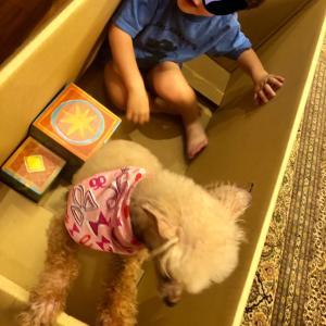 2歳のあそびに付き合わされる老犬