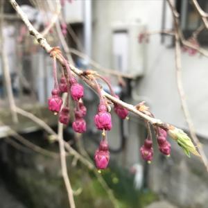 桜の花が咲きました