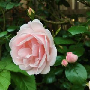 バラがよ〜く咲きました♪