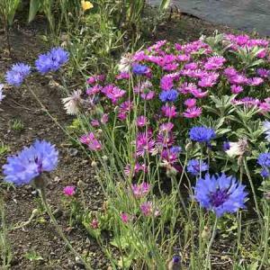 紫陽花、最盛期