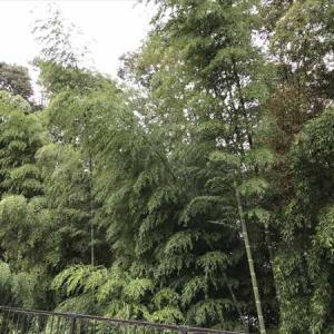 須山浅間神社(静岡県裾野市須山)では樹齢五百余年の御神木が20本以上あるとか!