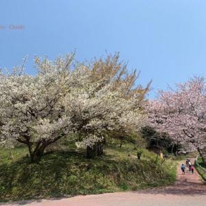 お花見(草山)