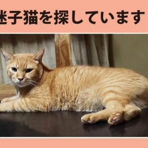 《前田さんより》迷子猫『ハズ』ちゃんをさがしています