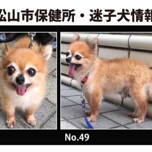 松山市保健所・迷子犬情報!*No.49ポメラニアン