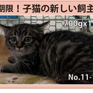 11/19期限!子猫の新しい飼い主さん募集!!