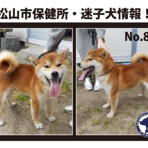 松山市保健所・迷子犬情報!No.83柴犬 東方町付近