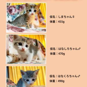 《林さんより》子猫3匹の新しい家族募集!!