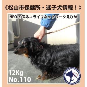 松山市保健所・迷子犬情報!No.110ミニチュアダックス