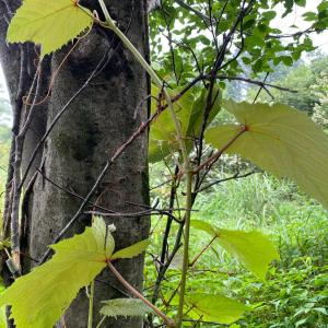 ノブドウのツルが枯れ枝にまきついたでー