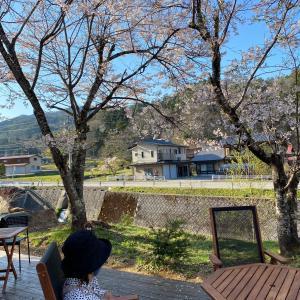 cafeノックノックの桜は今が見頃