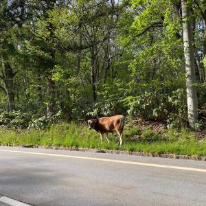 牛の脱走❓