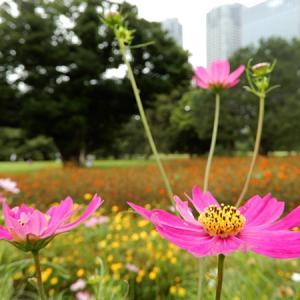 浜離宮恩賜庭園の秋桜畑と鳥と虫(中央区)2021.09.