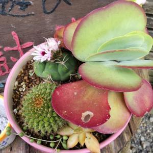 多肉植物の花が咲いた
