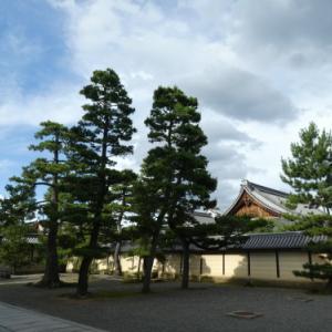 703 妙心寺の松の高さよ蝉時雨