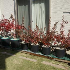 2019年度ブルーベリーの秋の鉢増し