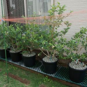 2020年度ブルーベリー・ラズベリーの収穫続き