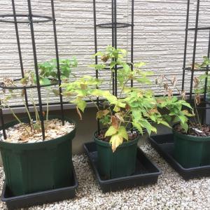 2018年度ブルーベリーの鉢の暑さ対策 2(鉢カバーテスト)