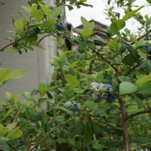 2019年度ブルーベリーの収穫