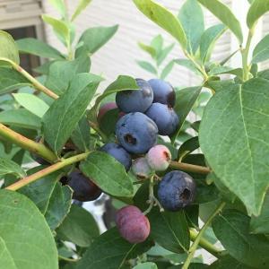 2019年度ブルーベリーの収穫の続き