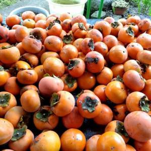 柿、キウイの収穫