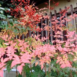 姫南天の紅葉