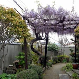 藤の花と八重桜がとっても綺麗・・・
