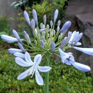 アガパンサスの花色が素敵