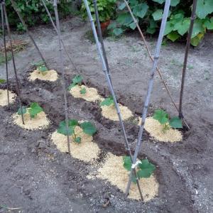 キュウリの苗を定植
