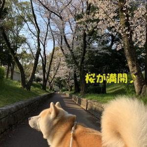 遊歩道の桜が満開です♪