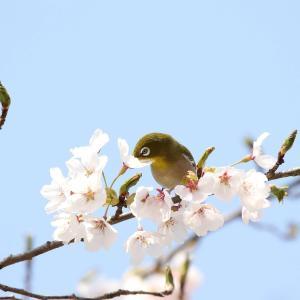 桜満開で'21.4/15,20