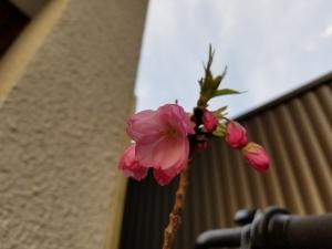 一才桜、咲いた!