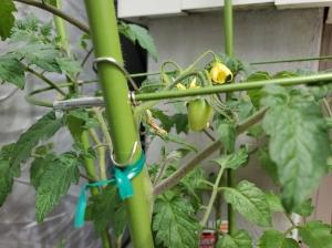 ミニトマトが実をつける