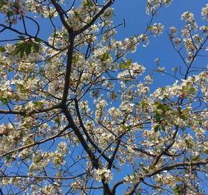 山桜の一種