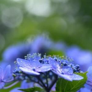 6月14日  御言葉をあなたへ    紫陽花の季節
