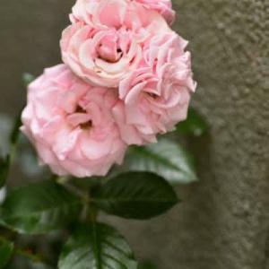 6月18日  御言葉をあなたへ   庭の薔薇