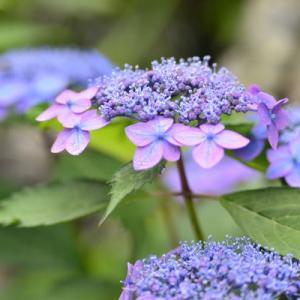 5月31日  御言葉をあなたへ   庭の紫陽花