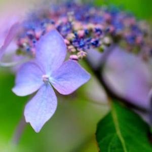 6月18日  御言葉をあなたへ  紫陽花の季節