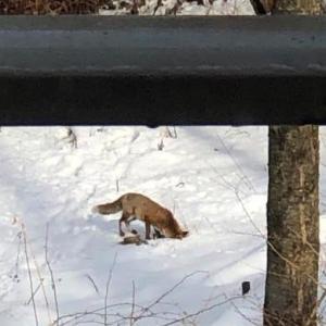 本日のショータイム 狐の狩り