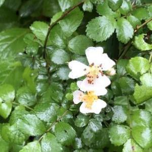 ノイバラが咲いた