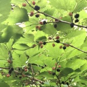 山桑の実はブルーベリーの代わりに 葉は梶の葉の代わりに