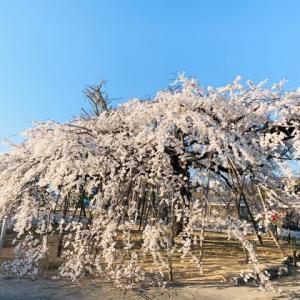 高浜市◇専修坊 しだれ桜。