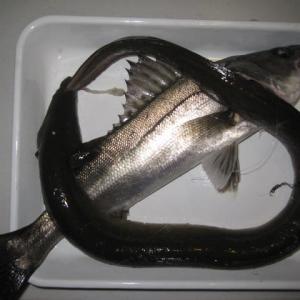 今日は特大サイズのウナギ1匹釣れてます!