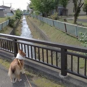 はな散歩 川の草刈りが終わりスッキリ