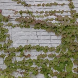 カワムラさんの社屋の壁 蔦が涼しげ