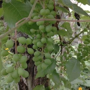 葡萄が育ってます