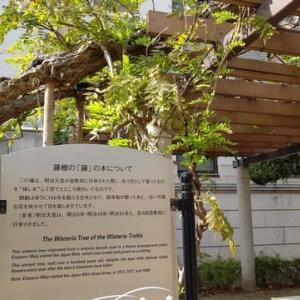 十月桜 造幣局の桜の通り抜け
