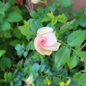 自慢の薔薇
