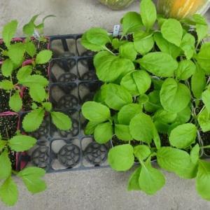 野菜の苗の始末